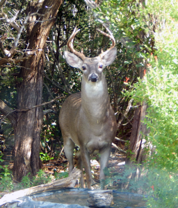 White-tail deer October 2016
