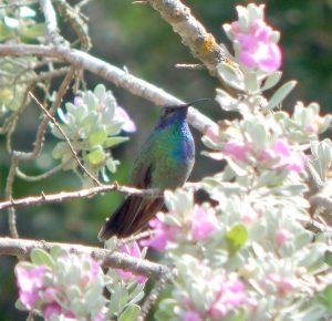 Mexican Violet-ear hummingbird